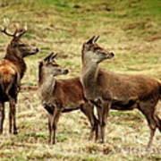 Wildlife Three Red Deer Art Print