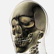 Three Dimensional View Of Human Skull Art Print by Stocktrek Images
