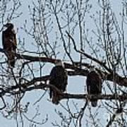 Three Eagles In Tree Art Print
