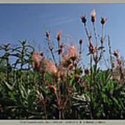 three flowered avens - Geum triflorum - 12MA30-1 Art Print