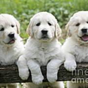 Three Golden Retriever Puppies Art Print