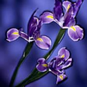 Three Iris Xiphium Art Print