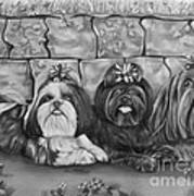 Three Little Shih Tzus Art Print