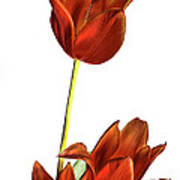 Three Orange Red Tulips Art Print