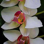 Three Orchids Art Print
