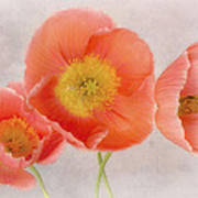 Three Peach Poppies Art Print