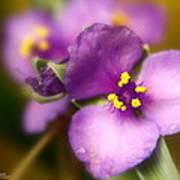 Three Petals Of Purple Art Print by Alexandra  Rampolla