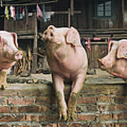 Three Pigs Having A Chat In A Remote Art Print