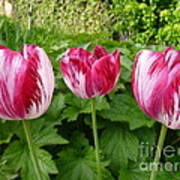 Three Pink Rembrandt Tulips Art Print