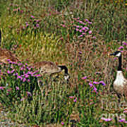Three Quiet Canada Geese Art Print by Susan Wiedmann