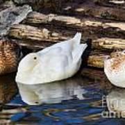 Three Sleeping Ducks Art Print