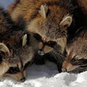Three Sweet Raccoons Art Print