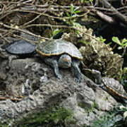 Three Turtles Art Print