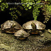 Three Turtles Art Print