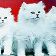Three White Cats Art Print