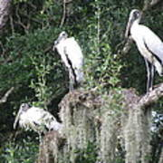 Three Wood Storks Art Print