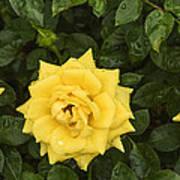 Three Yellow Roses In Rain Art Print