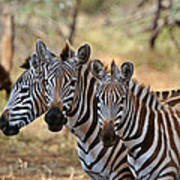 Three Zebras Art Print