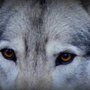 Through A Wolf's Eyes Art Print