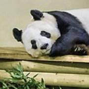 Tian Tian The Giant Panda Art Print