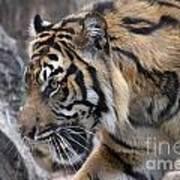 Sumatran Tiger-5418 Art Print