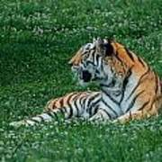 Tiger At Rest 1 Art Print