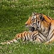 Tiger At Rest 3 Art Print