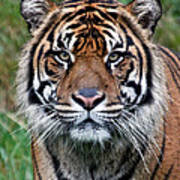 Tiger Stripes Art Print
