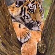 Tiger Cub Painting Art Print