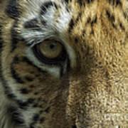 Tiger Eyes Art Print