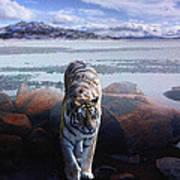Tiger In A Lake Art Print