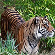 Tiger In The Vast Jungles Art Print