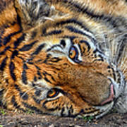 Tiger Nap Time Art Print