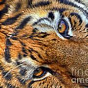 Tiger Peepers Art Print