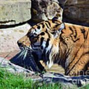 Tiger Playing  Art Print