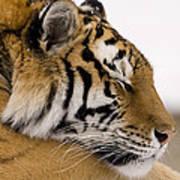 Tiger Sleeping Art Print