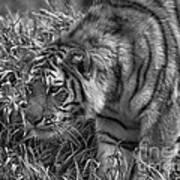 Tiger Stalking In Black And White Art Print