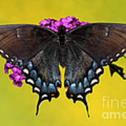Tiger Swallowtail Butterfly, Dark Phase Art Print