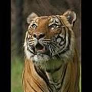 Tiger Symbol Of Art Print