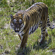Tiger Art Print by Tom Wilbert