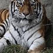 Tiger Waits Art Print