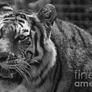 Tiger With A Hard Stare Art Print