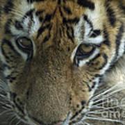 Tiger You Looking At Me Art Print