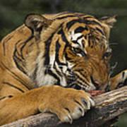 Tiger3 Art Print