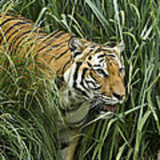 Tiger4 Art Print