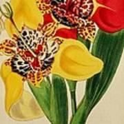Tigridia Pavonia And Conchiflora Art Print