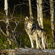 Timber Ghost Wolf Art Print