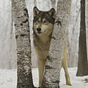 Timber Wolf Canis Lupus Art Print