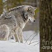 Timber Wolf In Snow Art Print