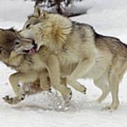 Timber Wolf  Pair Montana Art Print